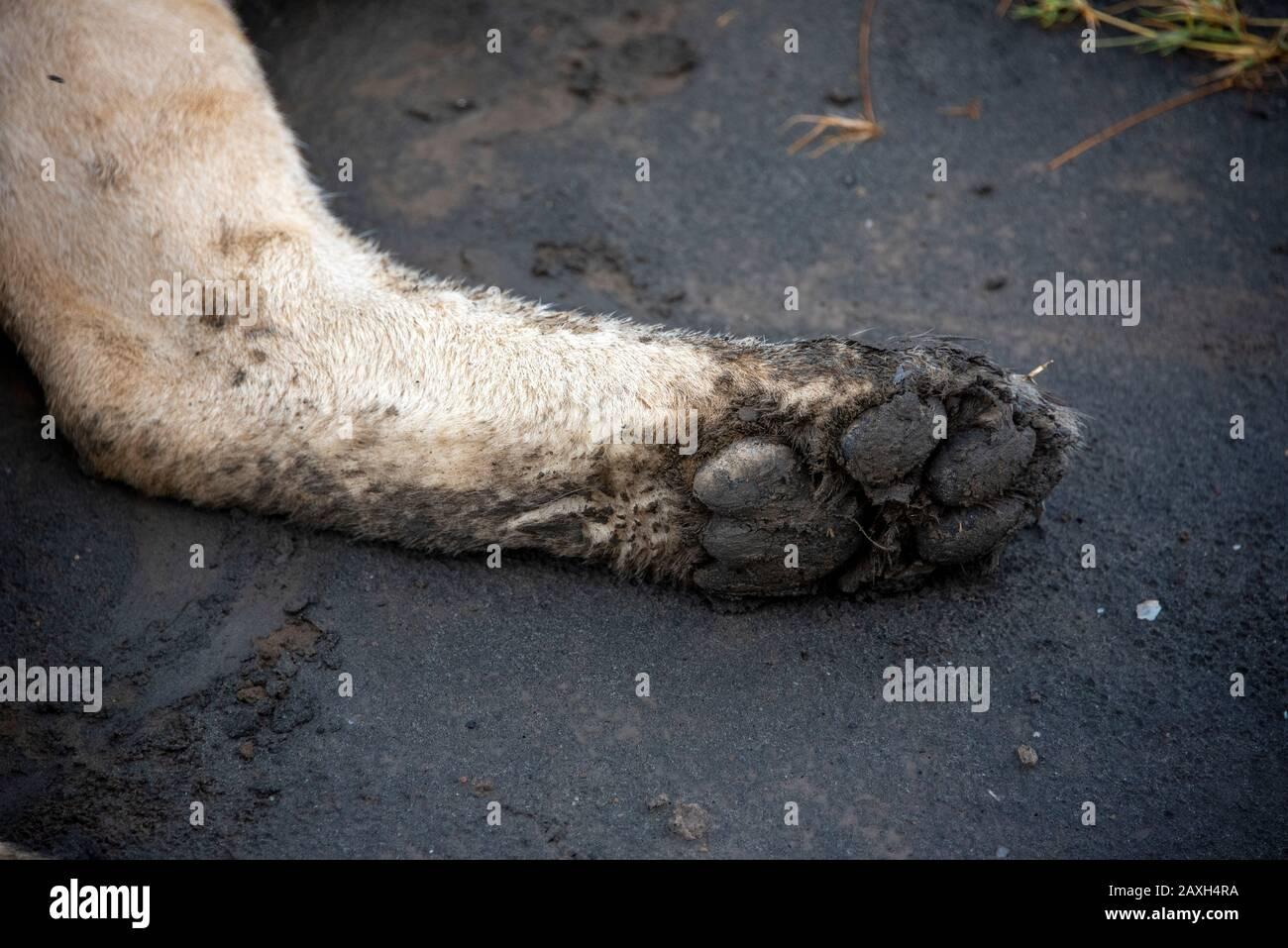 Die schlammige Pfote einer ruhenden Lioness Stockfoto