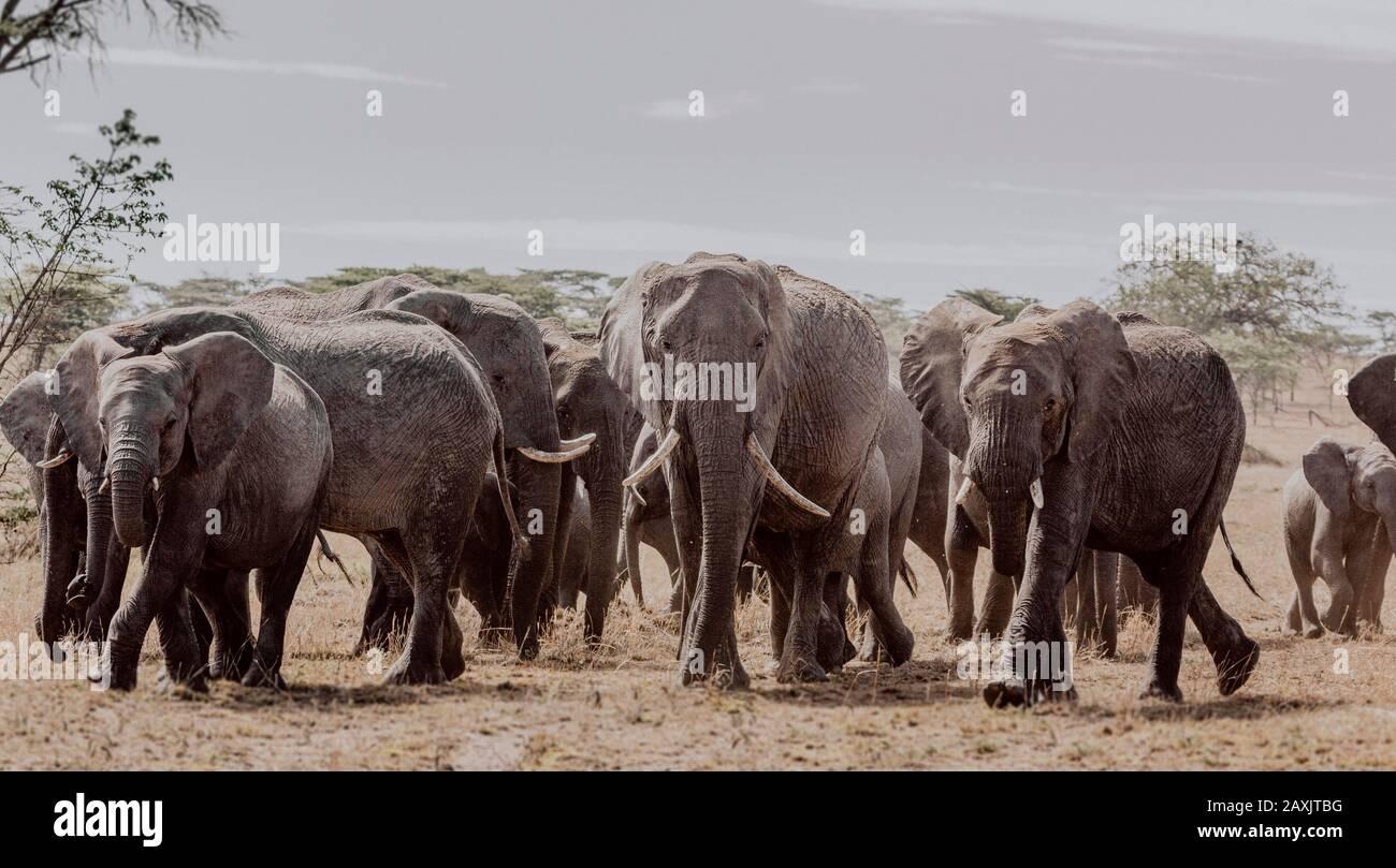 Unruhige und nervöse Elefantenherden, die im Serengeti-Nationalpark, Tansania, vorbeiziehen Stockfoto