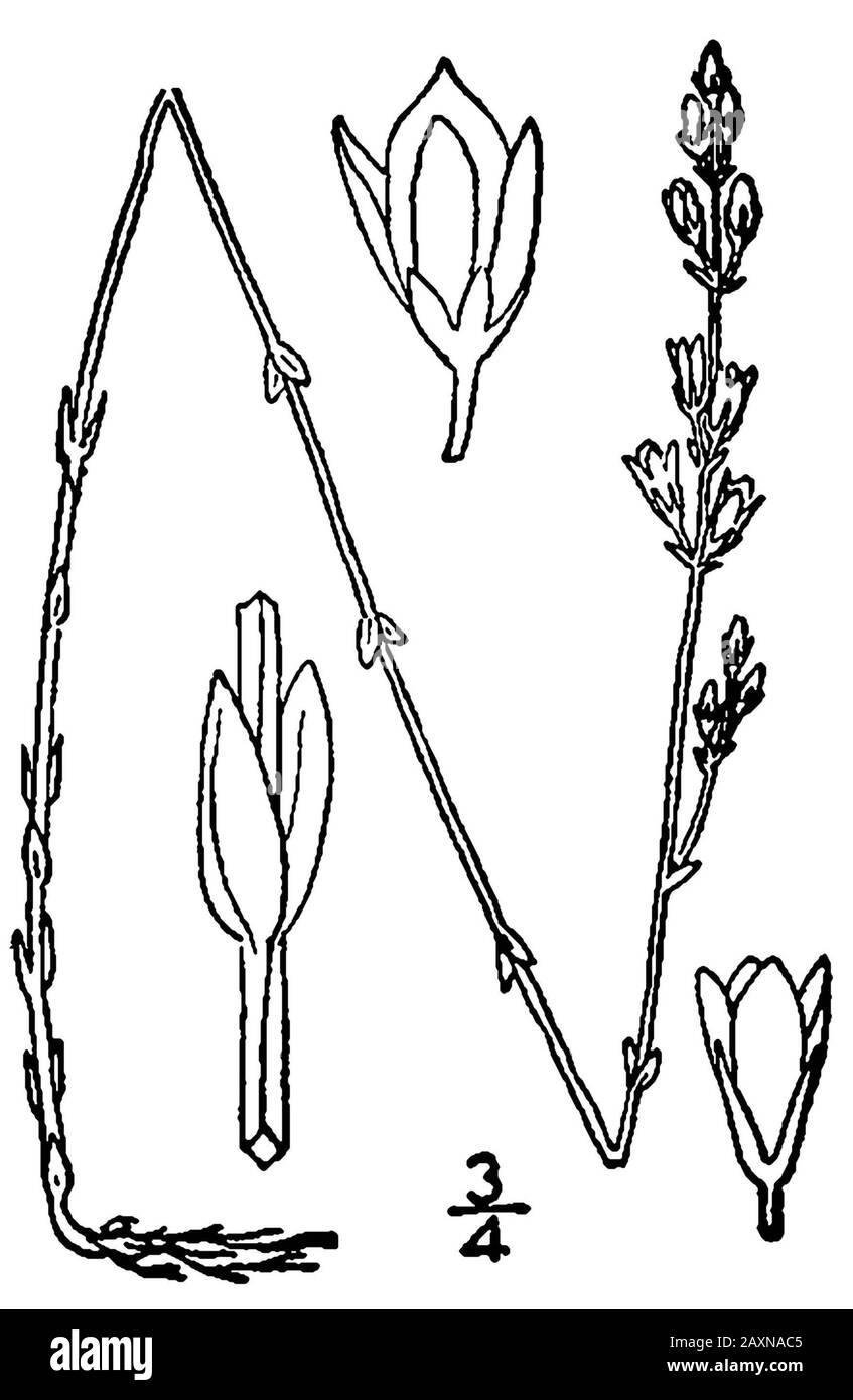 'Bartonia virginica; 1913; Eine illustrierte Flora der nördlichen Vereinigten Staaten, Kanadas und der britischen Besitzungen. Mit freundlicher Genehmigung der Kentucky Native Plant Society.; Nathaniel Lord Britton (1859-1934) und A. Brown; ' Stockfoto