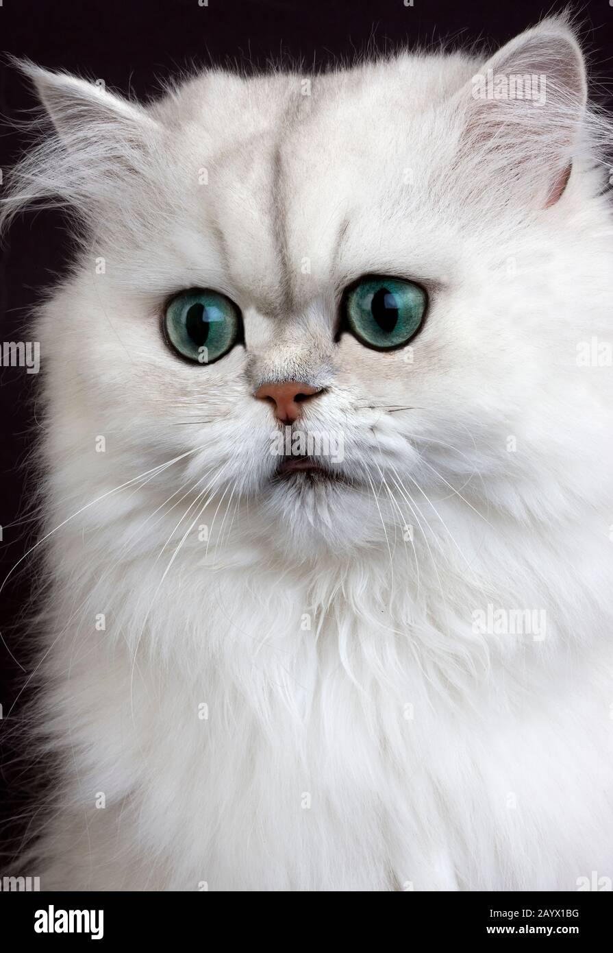Chinchilla Persische Hauskatze Mit Grunen Augen Stockfotos Und Bilder Kaufen Alamy