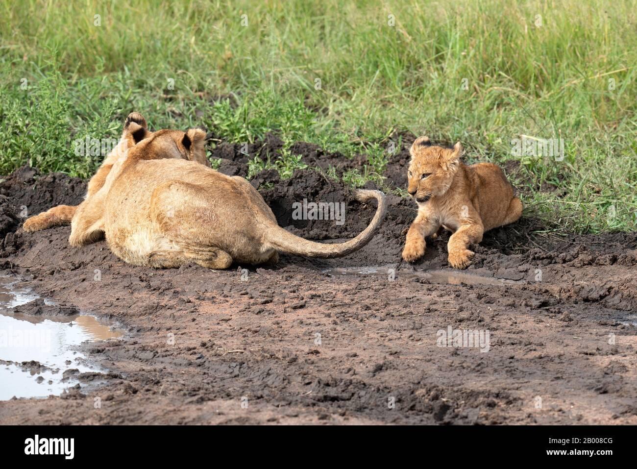 Freche Lion-Cub, die mit dem Schwanz der Mutter spielt Stockfoto