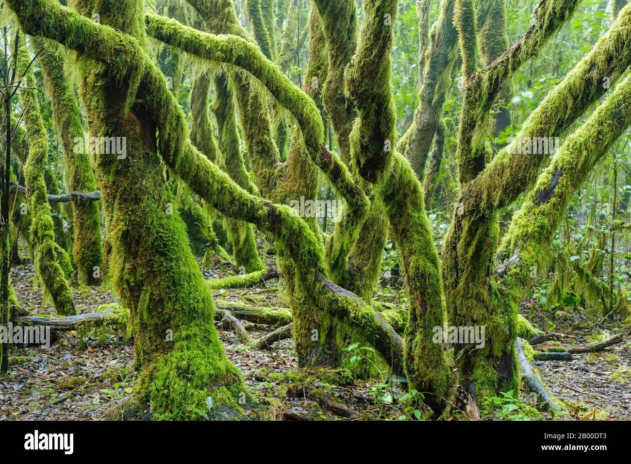 Mit Moos bedeckte Bäume in Nebelwald, Nationalpark Garajonay, La Gomera, Kanarische Inseln, Spanien Stockfoto