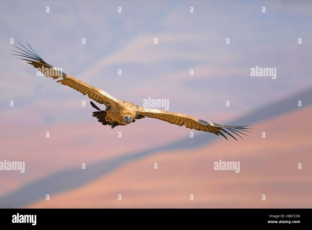 Cape Vulture (Gyps Coprotheres), in Flight, Südafrika, Giants Castle Game Reserve Stockfoto