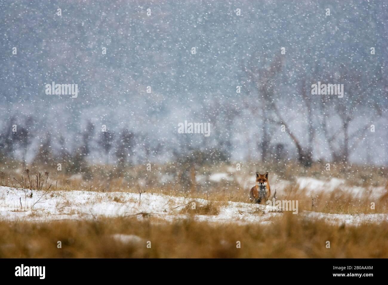 Rotfuchs (Vulpes vulpes), im Schneefall im Winter, Niederlande Stockfoto