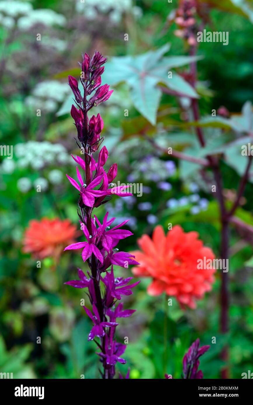 Prachtlobelie Scarlet Lobelia speciosa Scarlet großer Topf