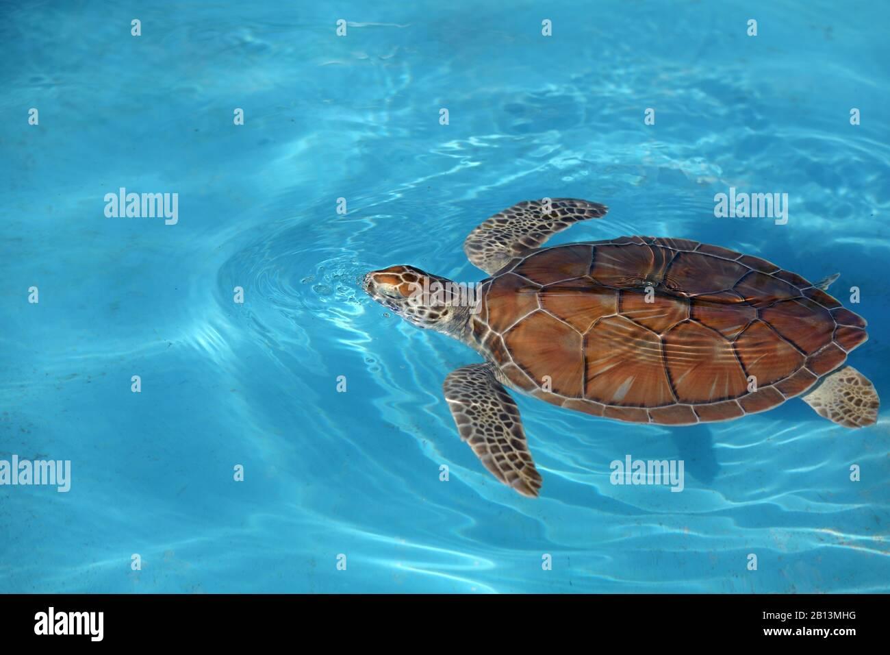 Grüne Schildkröte, Felsenschildkröte, Fleischschildkröte (Chelonia mydas), Schwimmen, Kuba, Cayo Largo Stockfoto