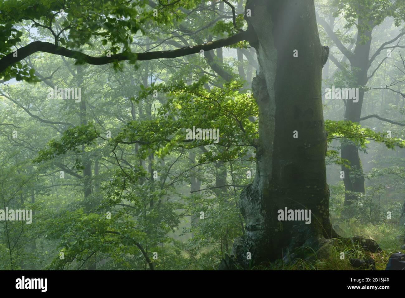Fagaras-Gebirge Natura 2000-Gebiet / Rumänien: Ungeschützter primärer Buchenwald. Legaler und illegaler Holzeinschlag bedroht den Wildwaldschatz der EU. Stockfoto