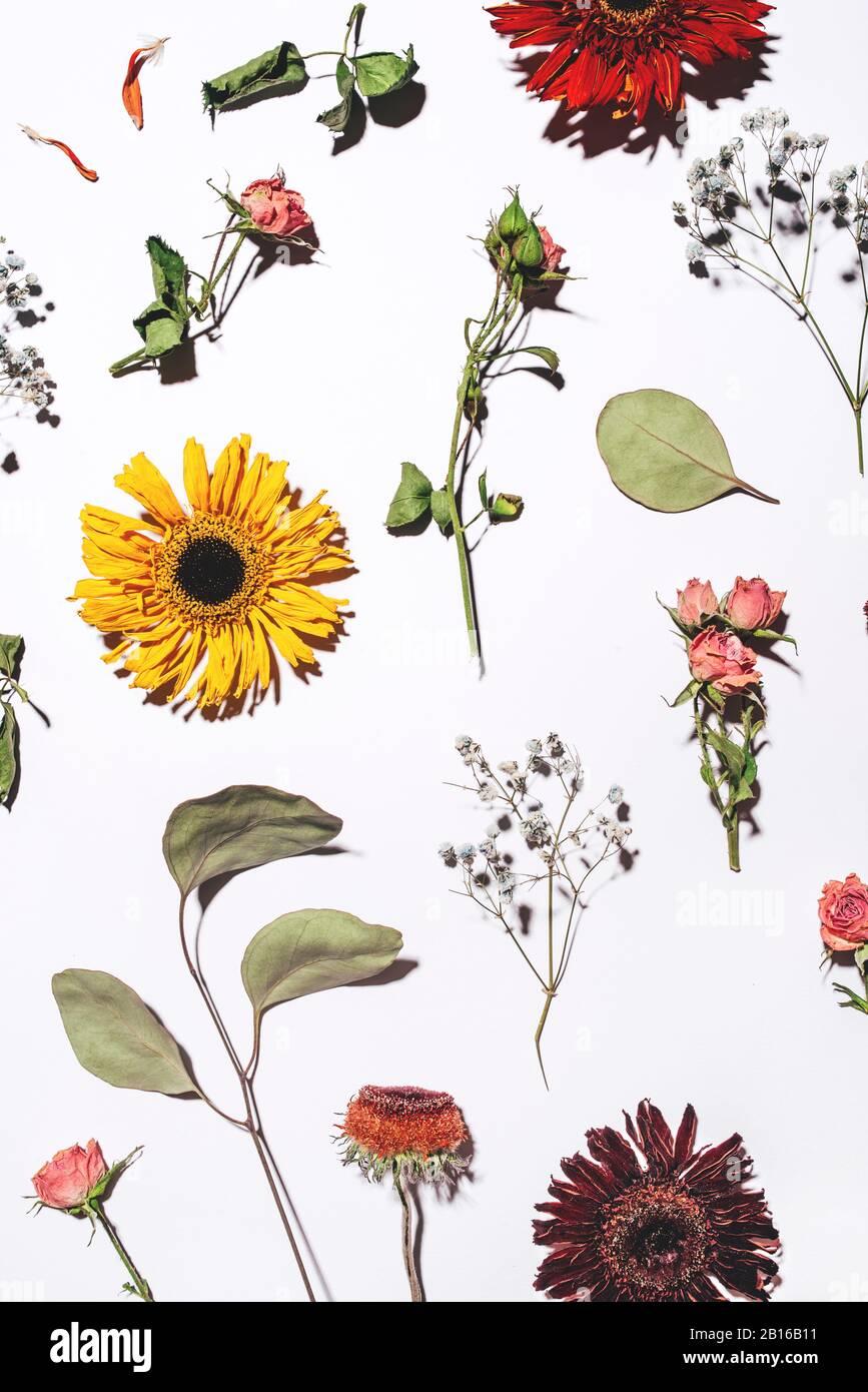 Trockene Blumen Muster auf weißem Hintergrund. Stockfoto
