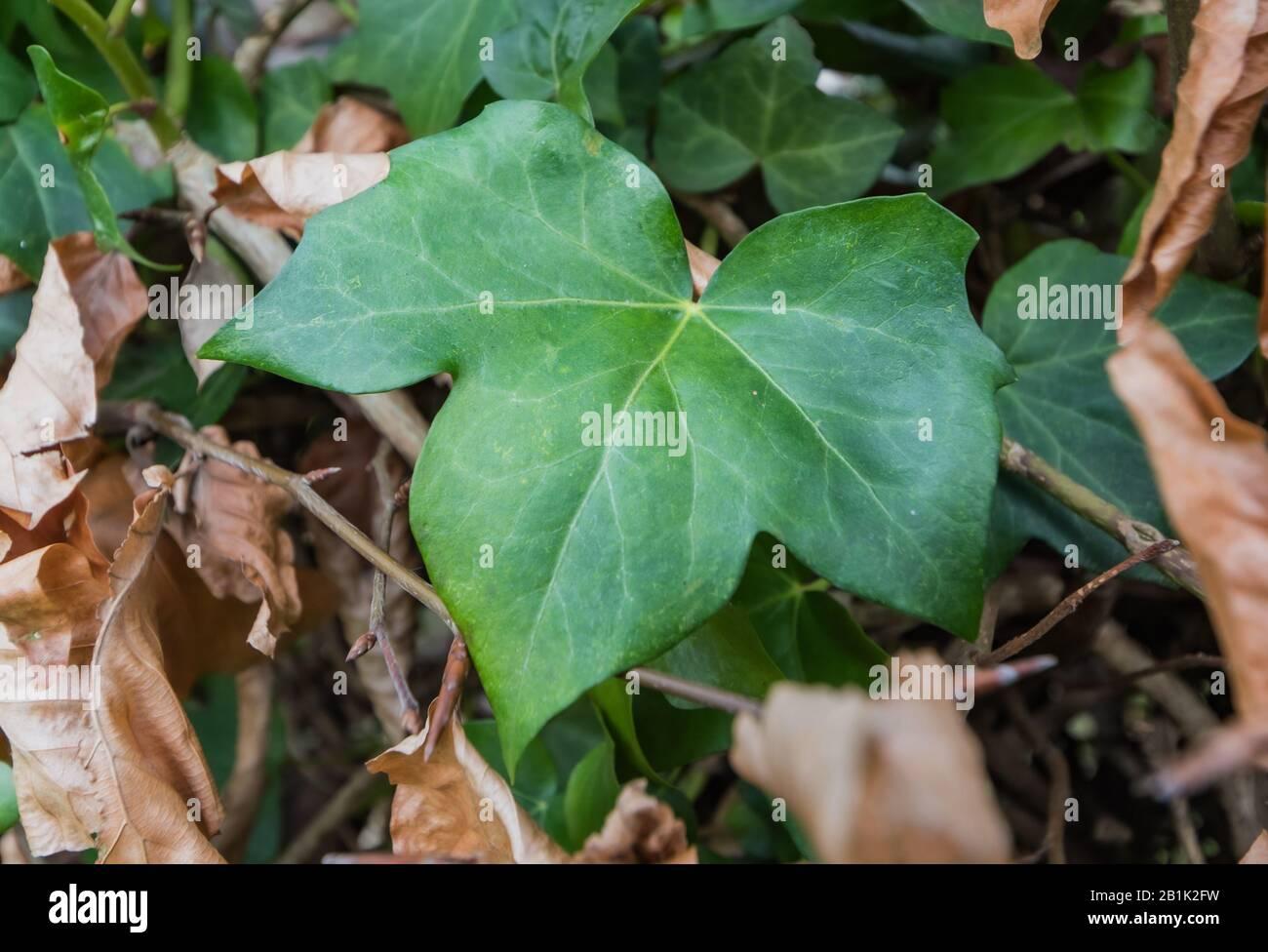 Dunkelgrünes, immergrüner, palmatelig gelapptes Blatt aus dem Englischen Efeublatt (Common Ivy, Hedera Helix). Blätter mit 3 Lappen. Stockfoto