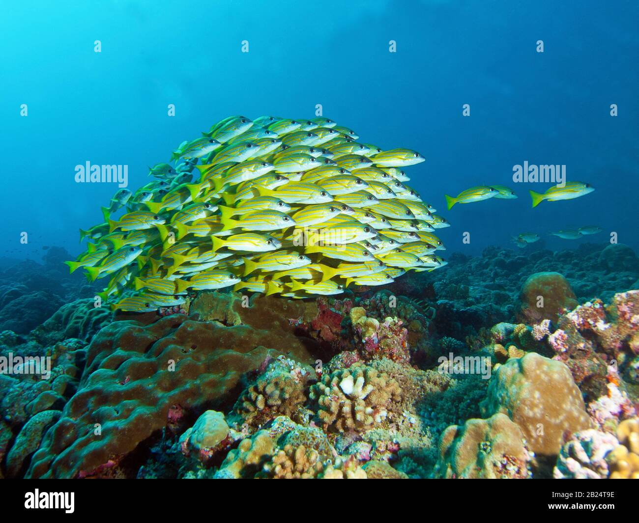 Fischschule, Bluestrife Snapper an einem Korallenriffe in Palau, Mikronesien. Unterwasserfotografie am wunderschönen Korallenriffe. Stockfoto