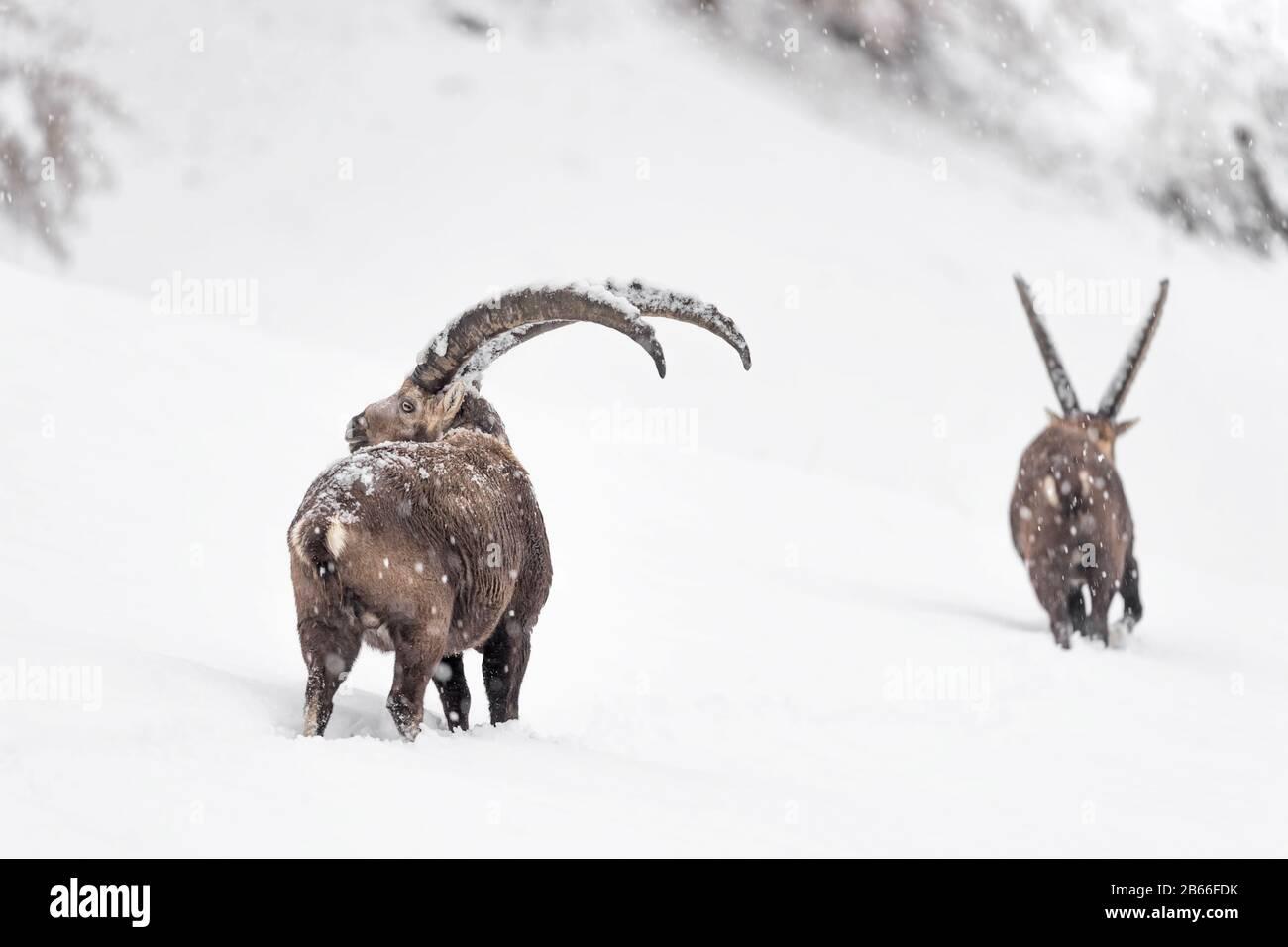 Steinböcke unter Schneesturm (Capra Ibex) Stockfoto