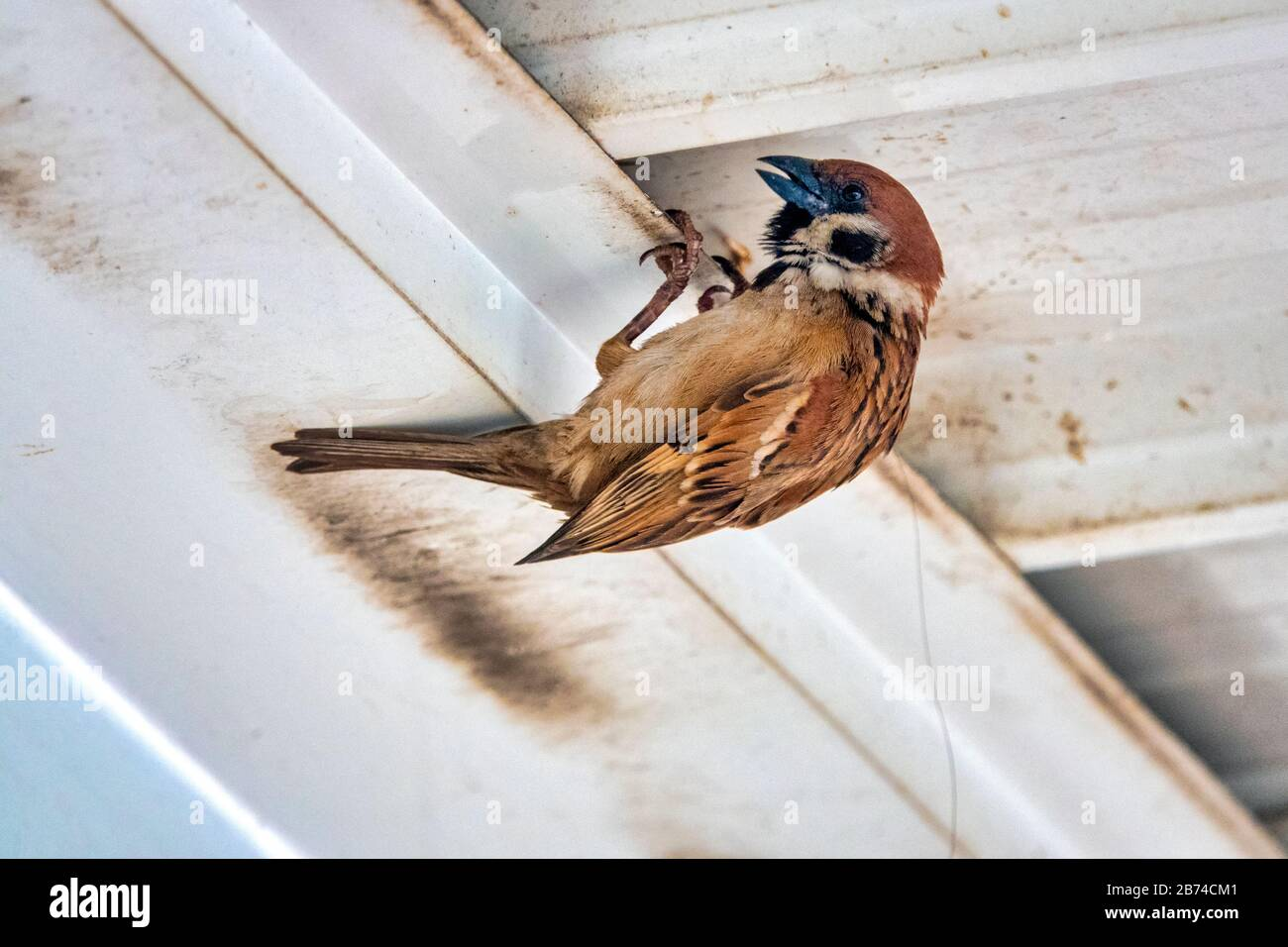 Eurasischer Baumspfeil (Passer montanus) nistet unter einem Dach Stockfoto