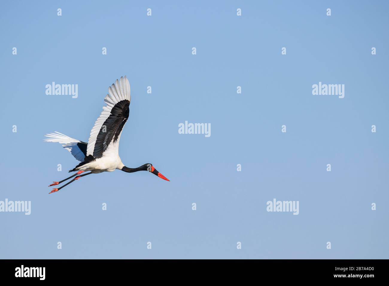 Saddle-billed Stork, Ephippiorhynchus senegalensis, in Flight, Bushman Plains, Okavanago Delta, Botswana Stockfoto