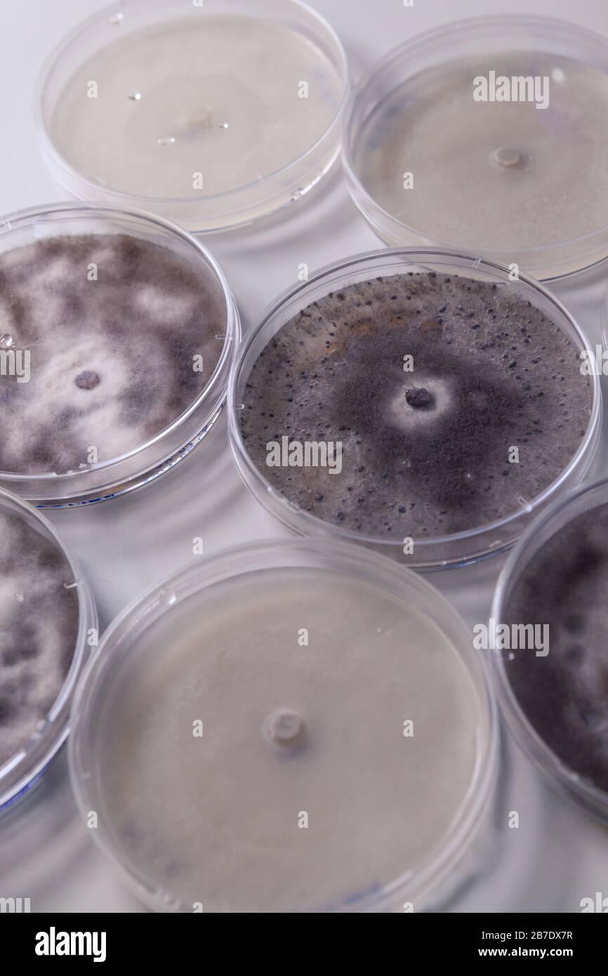 Mikrobiologische Kultur in einem Petrischalen für die pharmazeutische Biowissenschaften. Konzept der Wissenschaft, des Labors und der Erforschung von Krankheiten. Stockfoto