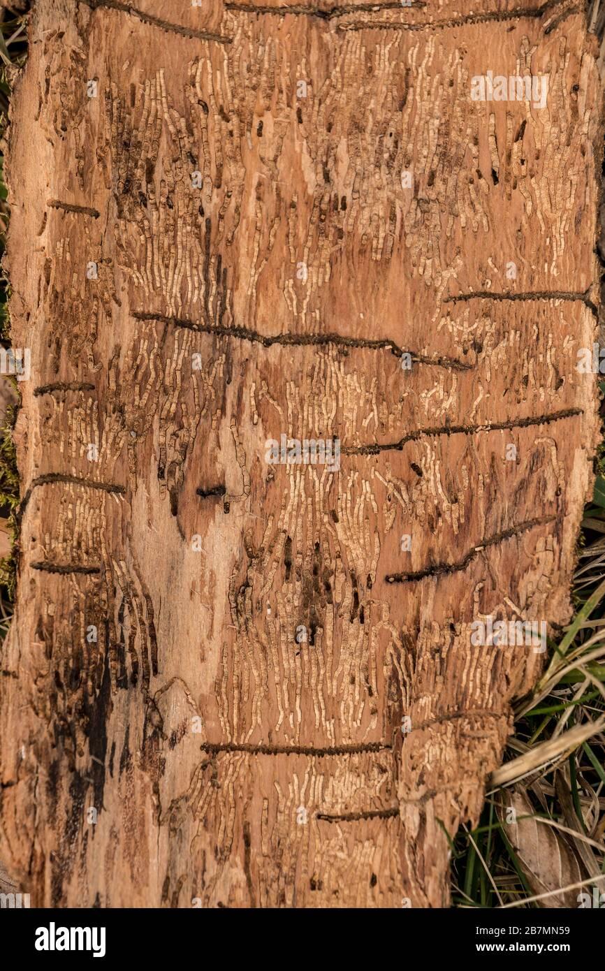 Viele Wurmrillen auf einem Holzstück Baumrinde Stockfoto
