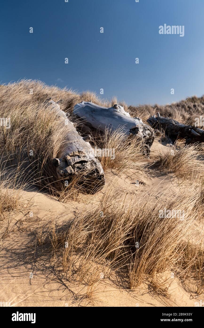 Kalifornische Küstendüne mit Seegras und Stranddunte bedeckt Stockfoto