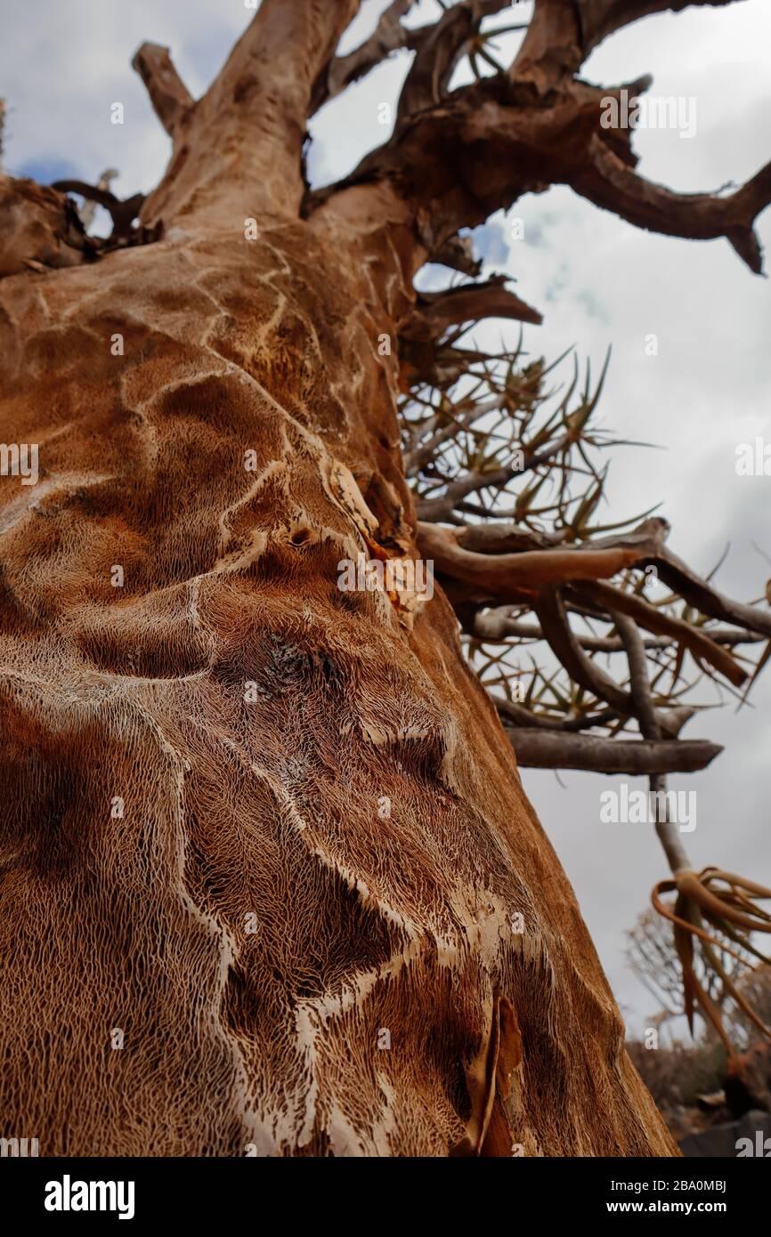 """Detail des schwammigen Innenraums eines """"Dead Quiver Tree"""" im """"Quiver Tree Forest"""" in der Nähe der Stadt Nieuwoudtville, Northern Cape Province, Südafrika Stockfoto"""
