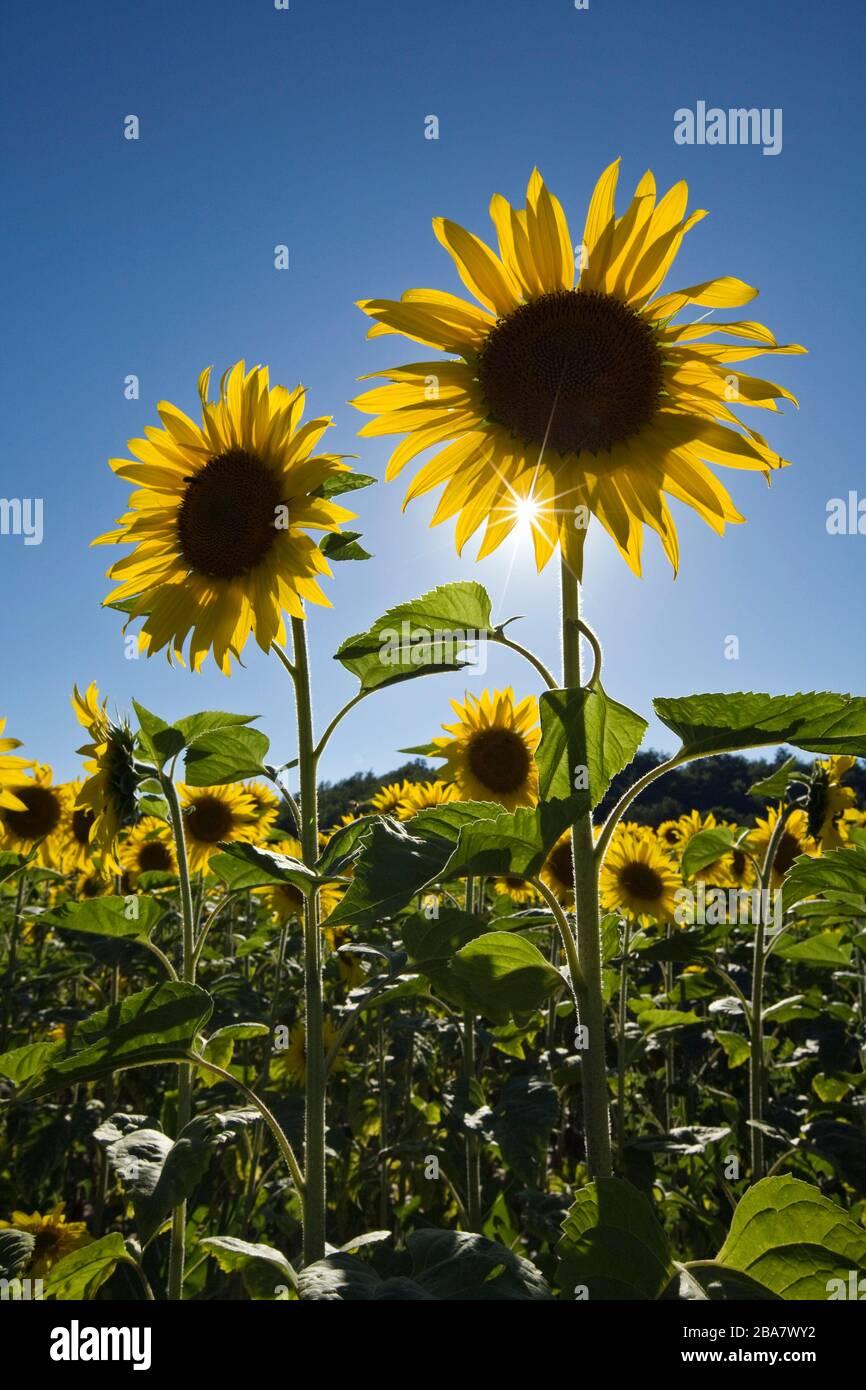 Paar Sonnenblumen Stockfotos und bilder Kaufen Alamy