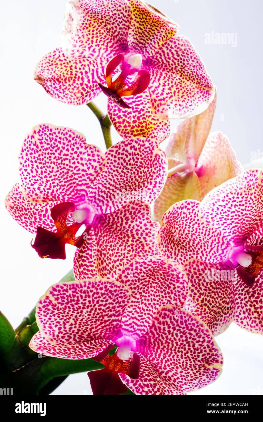 Nahaufnahme der blühenden Orchideenblume; Orchidaceen; eine der beiden größten Familien der blühenden Pflanzen Stockfoto