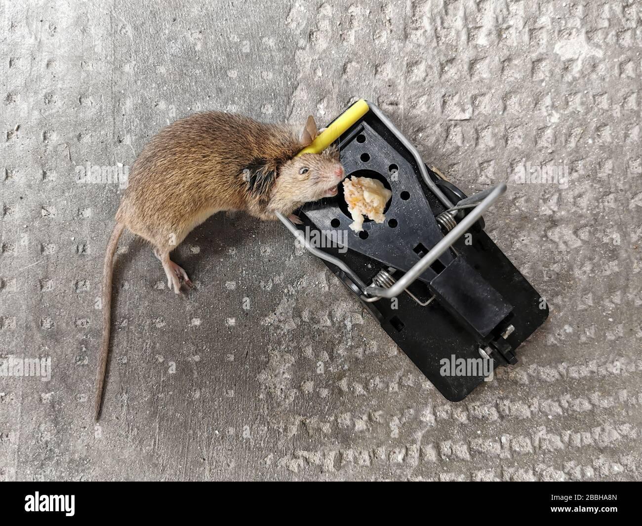 Tote Maus Auf Dem Boden Stockfotos Und Bilder Kaufen Alamy