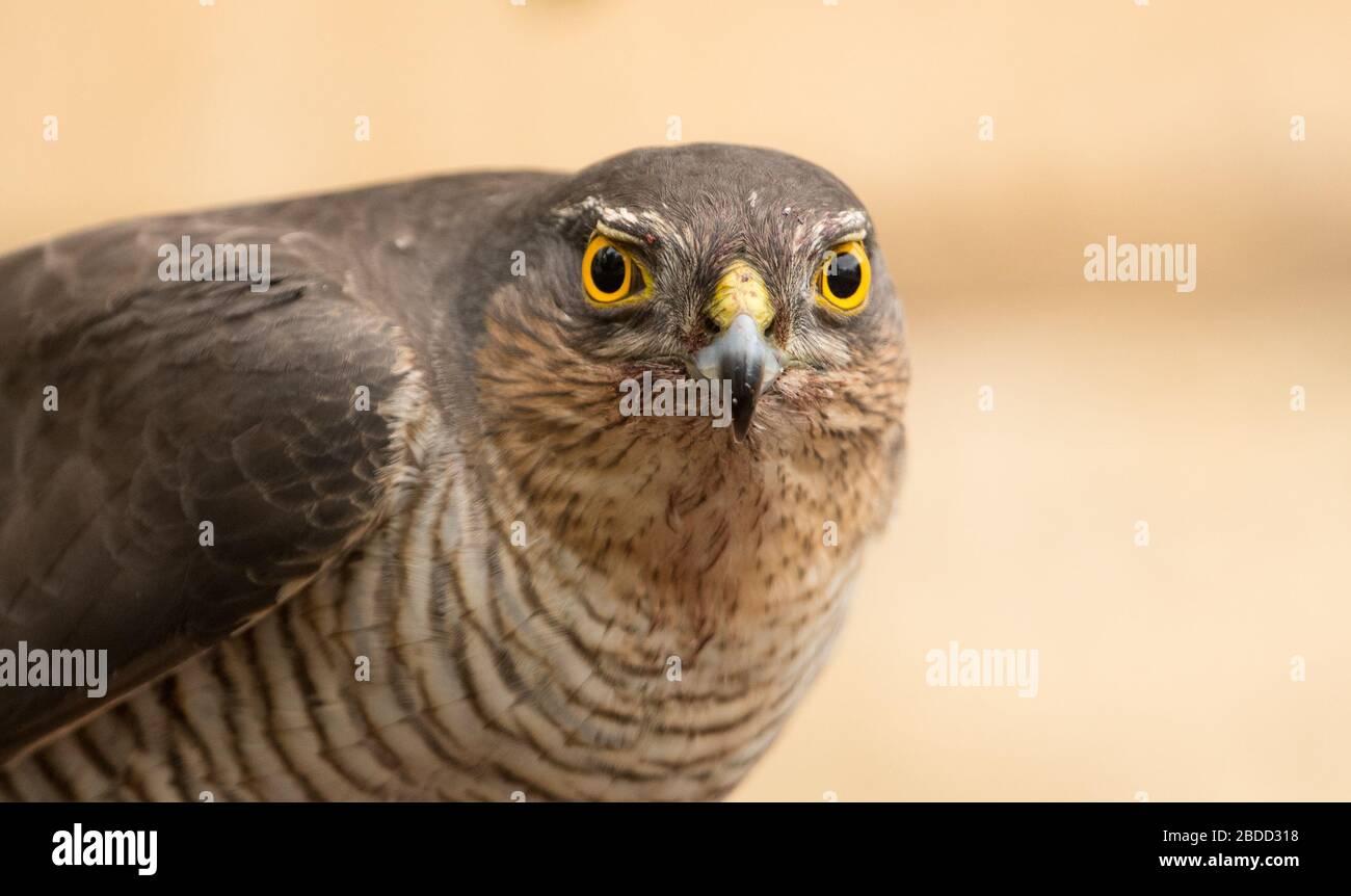 Nahaufnahme einer erwachsenen Europäerin Sparrowhawk (Accipiter nisus) auf Beute, aufgenommen in einer Wohnstraße in Prestbury, Cheltenham, England. Stockfoto
