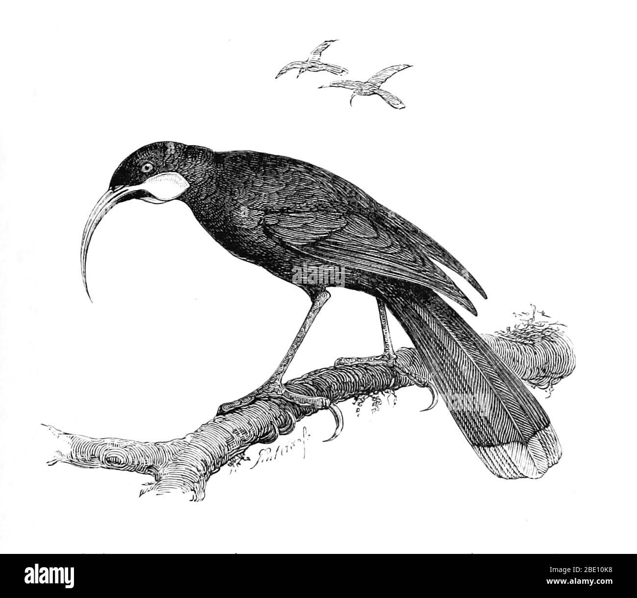 Der huia (Heteralocha acutirostris) war die größte neuseeländische Wattlebird-Art, die auf der Nordinsel Neuseelands endemisch ist. Sein Aussterben im frühen 20. Jahrhundert hatte zwei Hauptursachen. Die erste war eine grassierende Überjagung, um huia-Felle für montierte Exemplare zu beschaffen, die von Museen und wohlhabenden Privatsammlern weltweit nachgefragt wurden. Huia wurden auch gejagt, um ihre langen, auffälligen Schwanzfedern für lokal modische Hutdekorationen zu erhalten. Die zweite Hauptursache des Aussterbens war die weitverbreitete Abholzung der Tiefebene der Nordinsel durch europäische Siedler zur Schaffung von Pastelle Stockfoto