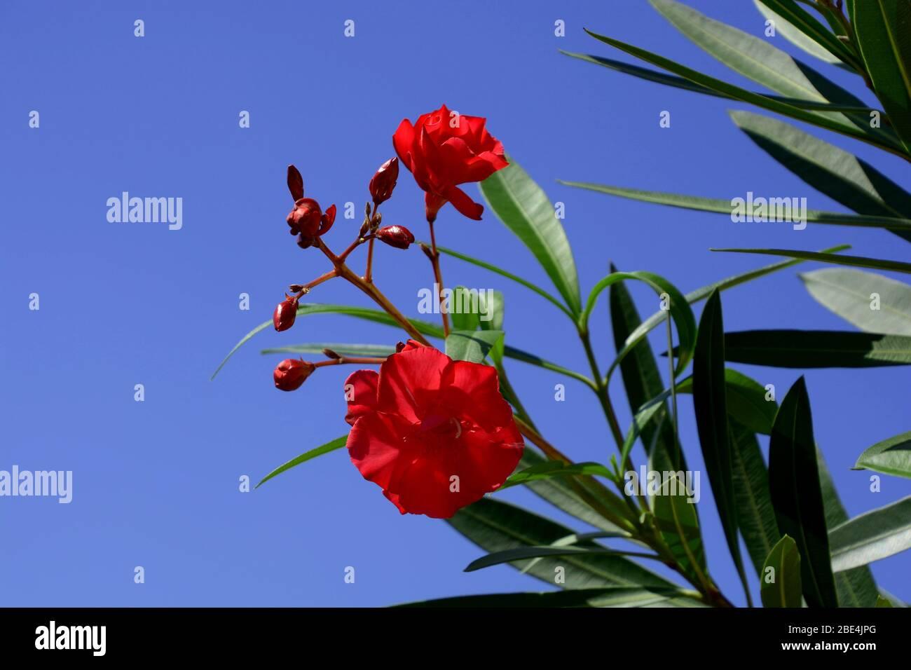 Rote Blüte Nerium Oleander im april vor azurblauem Himmel, Oleander-Blüten und grüne Blätter im Frühjahr Stockfoto