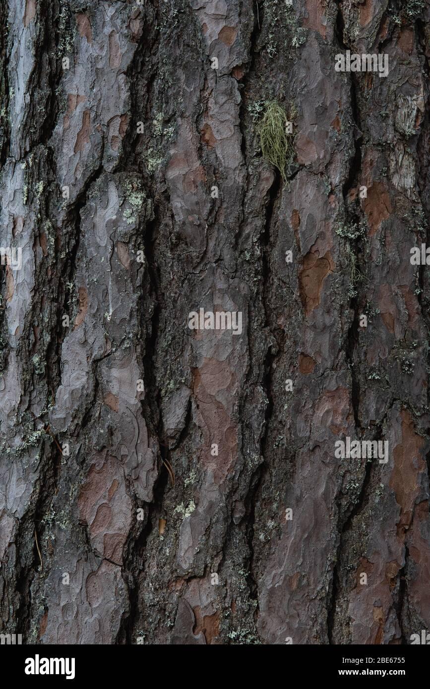 Hintergrund. Die Rinde alter Kiefern aus der Nähe. Stockfoto