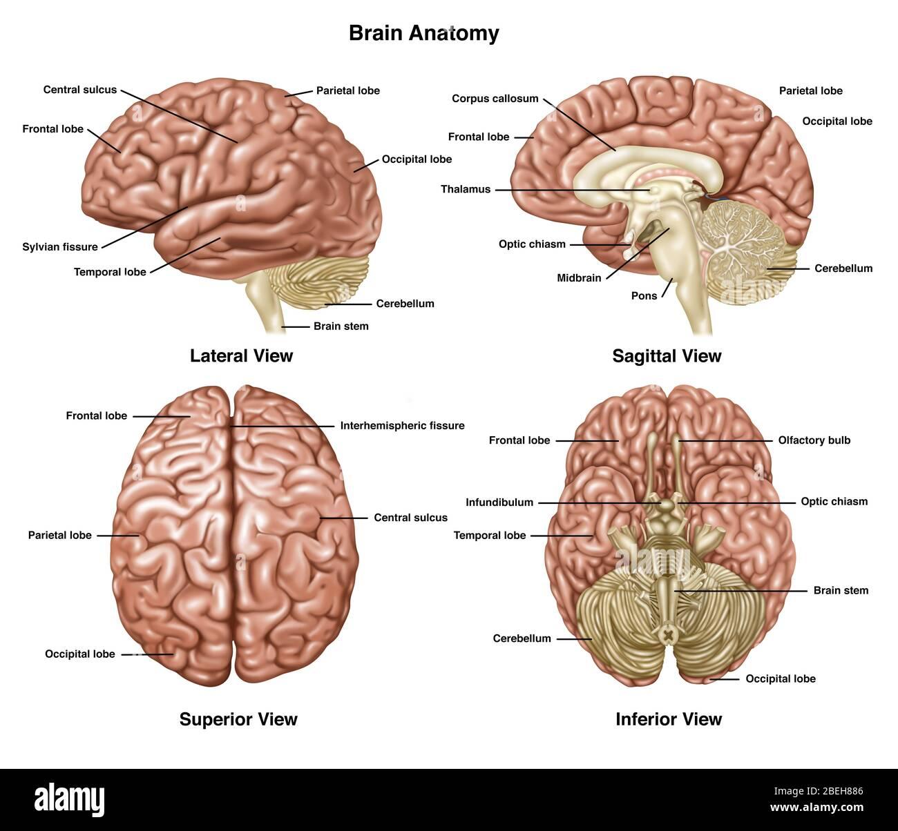 Medizinischer makroskopisc Anatomisches Gehirn Dissection Wörterbuch Kunstdruck