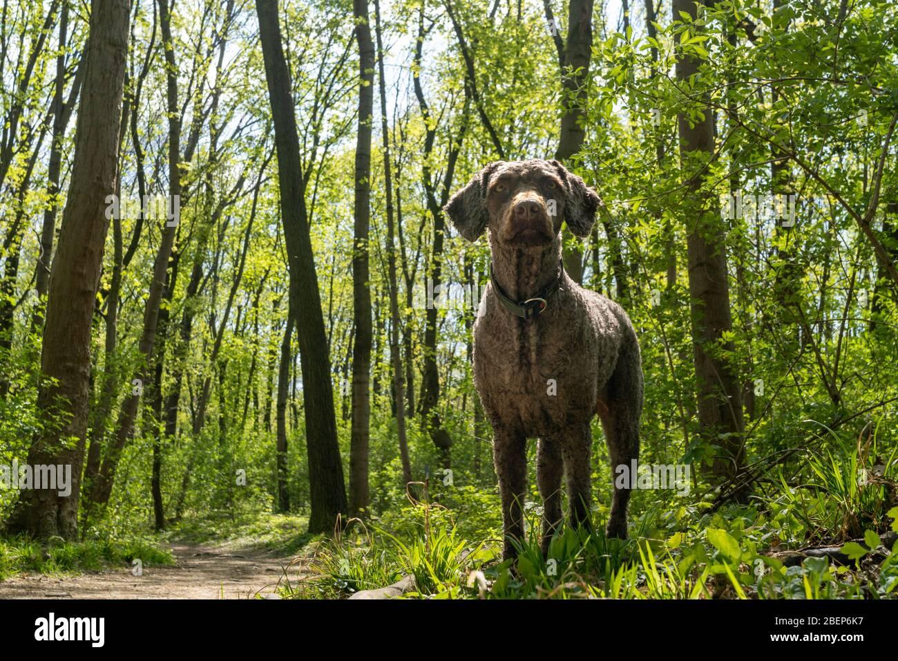 Italian Water Dog Stockfotos Und Bilder Kaufen Alamy