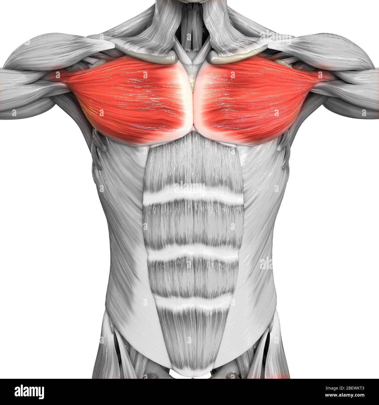 Brustmuskel mann