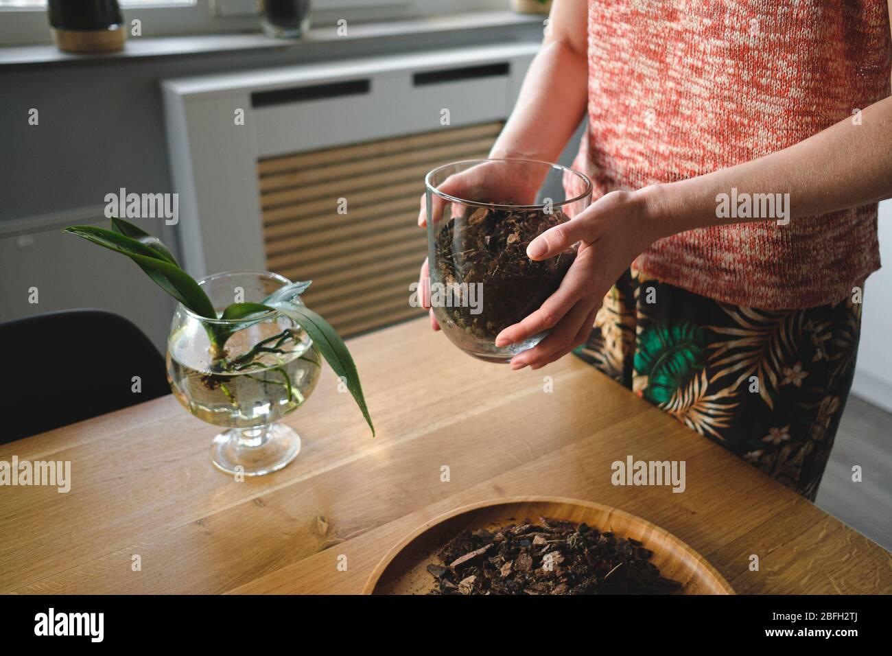 Nahaufnahme Hände der Frau Pflanzen eine Orchideenblume im Haus auf einem Holztisch im Wohnzimmer Stockfoto