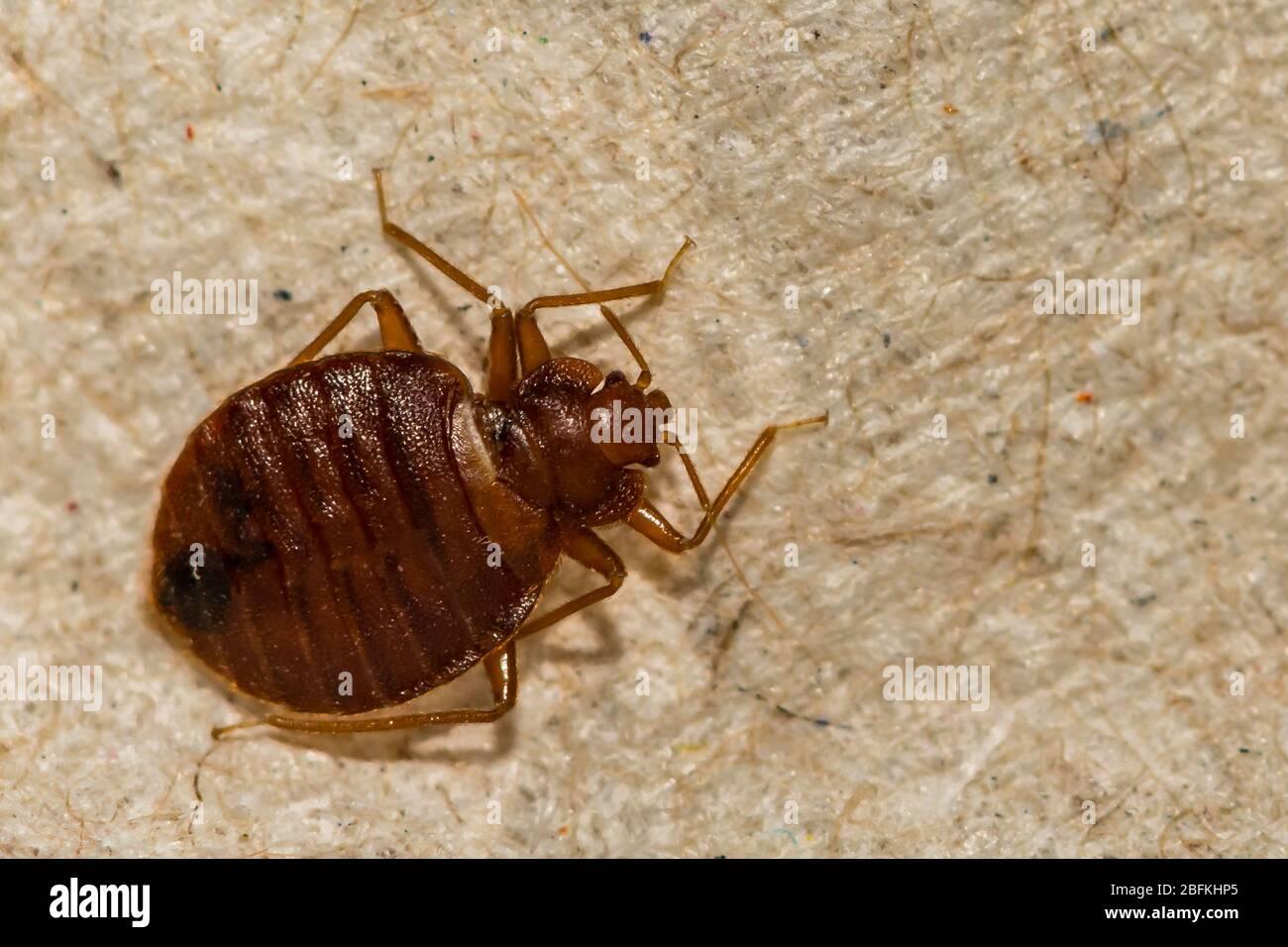 Käfer bett German Insect