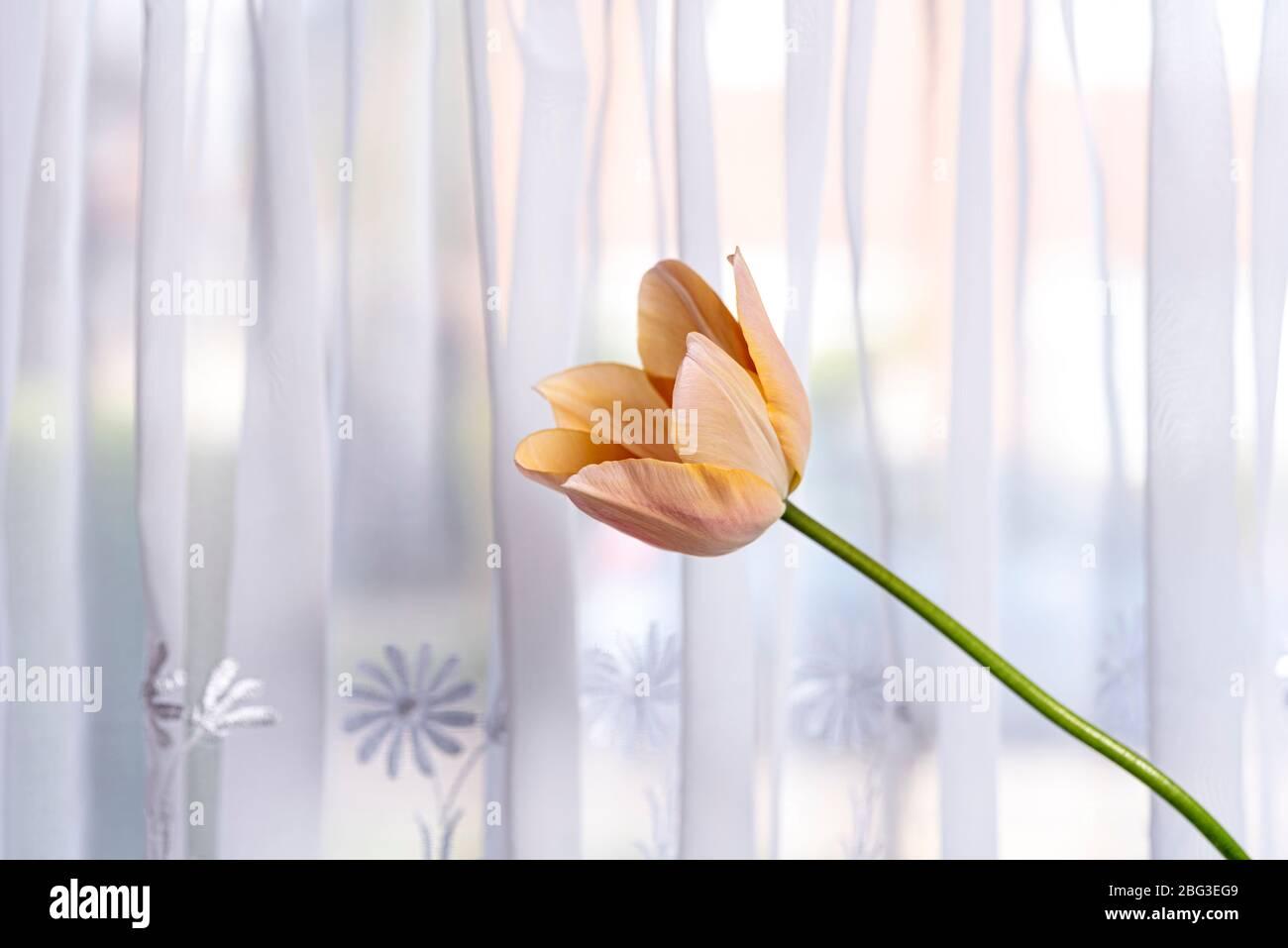 Einzelne Tulpe gegen einen Netzvorhang im Fenster. Stockfoto