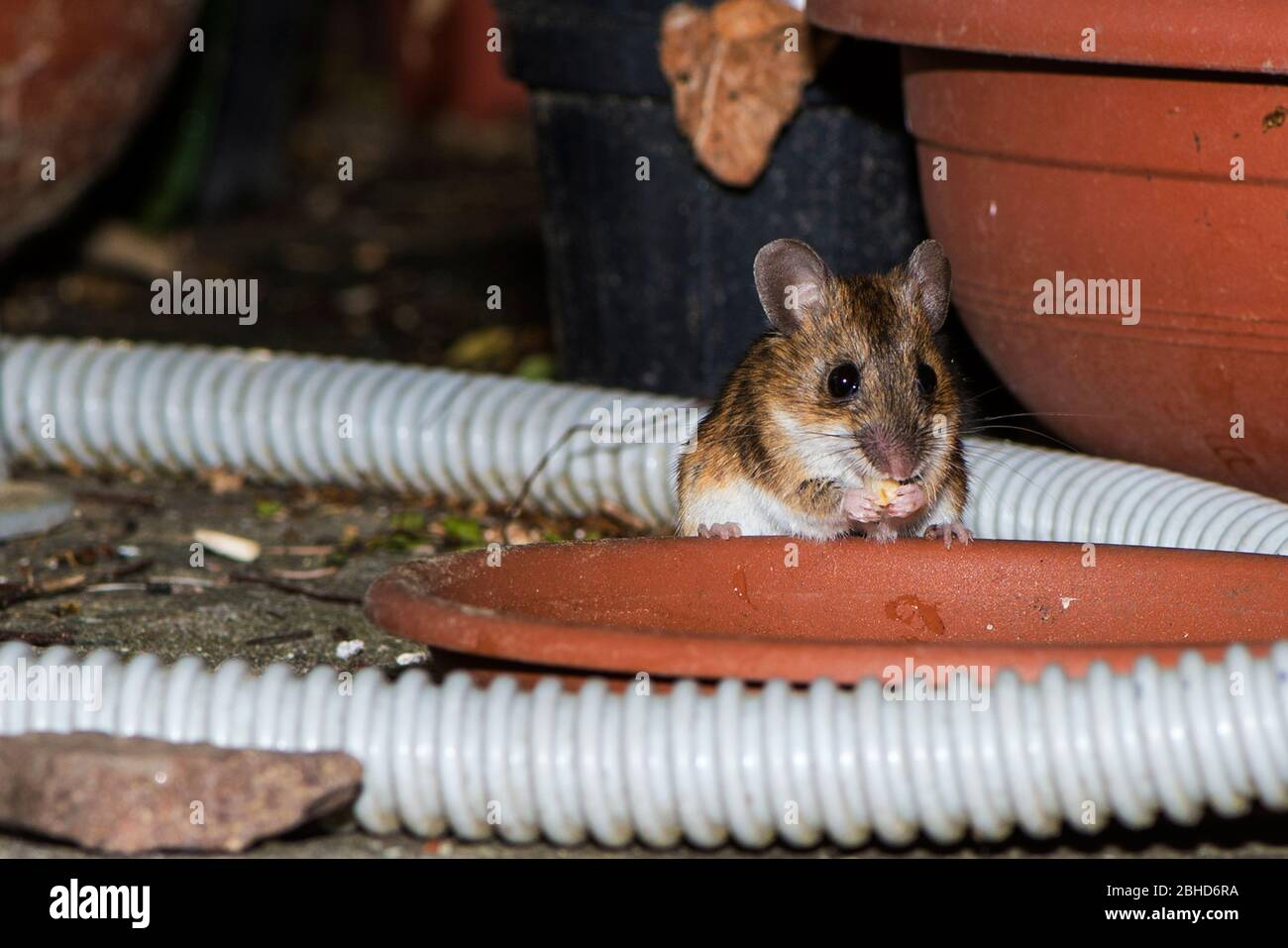 Gewohnliche Mause Stockfotos Und Bilder Kaufen Alamy