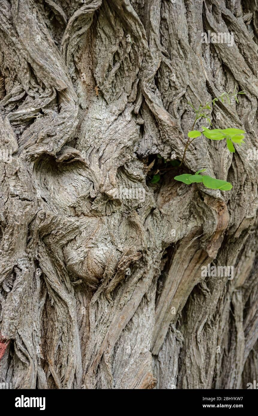 Hohlräume in einer Baumrinde, die wie ein Gesicht aussehen. Vertiefung in einer Baumrinde, die wie ein Gesicht aussehen. Stockfoto