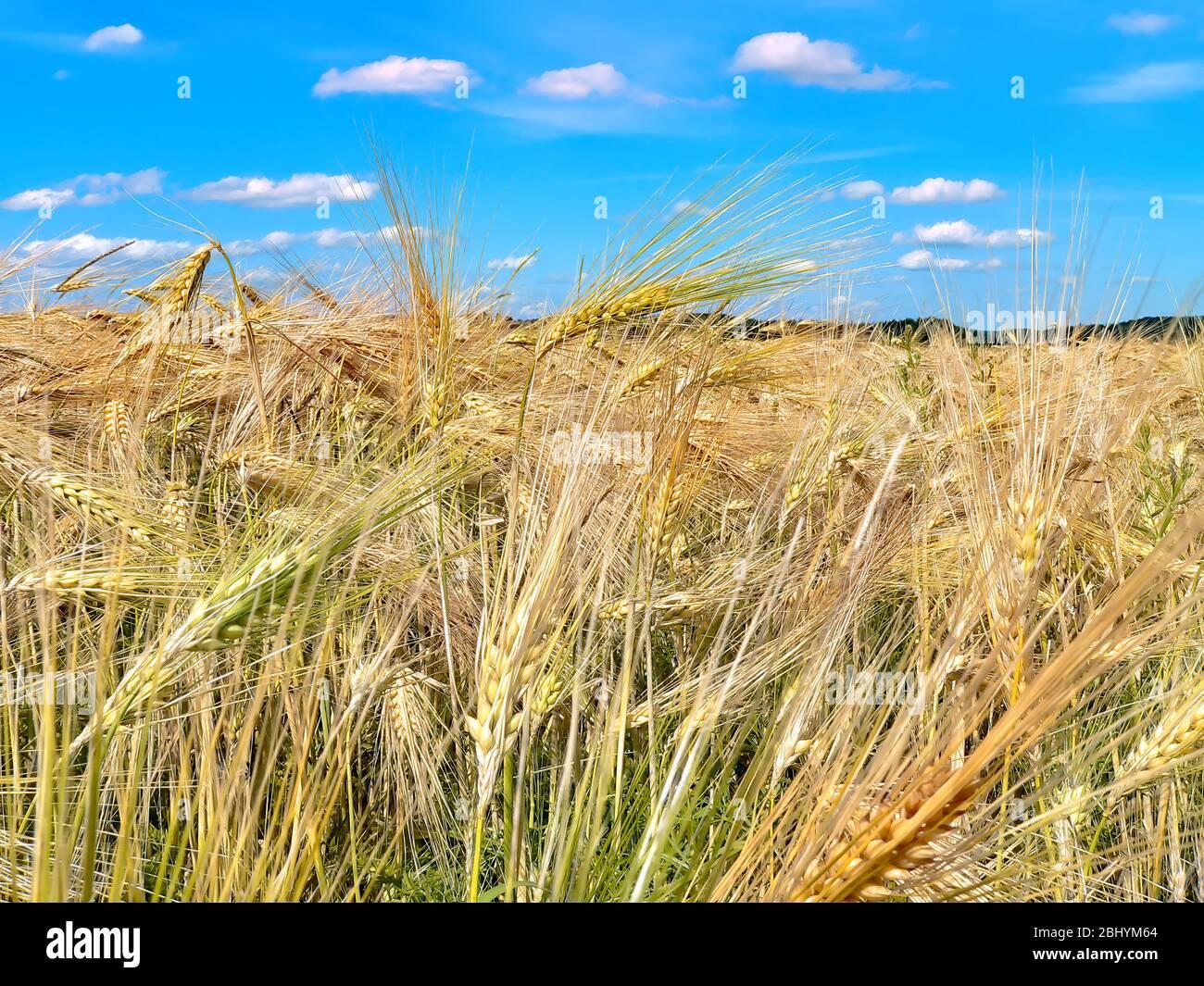 Ein Getreidefeld, das zur Ernte unter dem blauen Himmel heranreift. Stockfoto