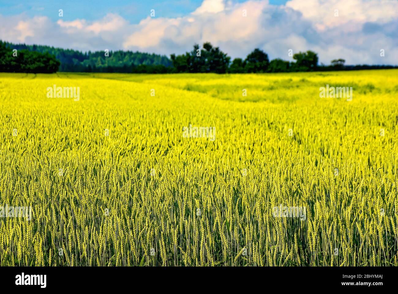 Ländliche Gegend mit reifenden Kornfeld. Stockfoto