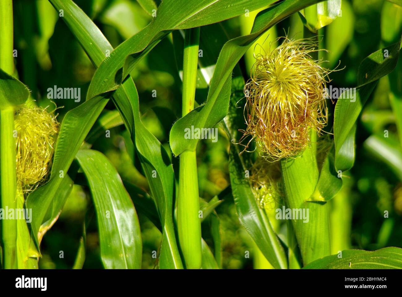Reifung von Maispflanzen im Sommer. Stockfoto