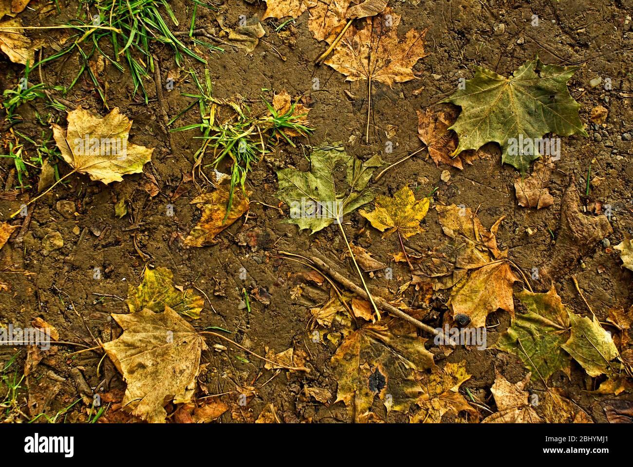 Herbstblätter trampten in den erweichten Boden. Stockfoto