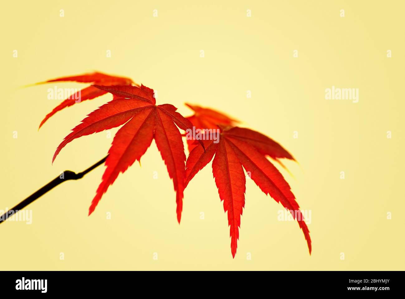 Ahornblätter eines japanischen Ahorns, Acer palmatum Deshojo. Stockfoto
