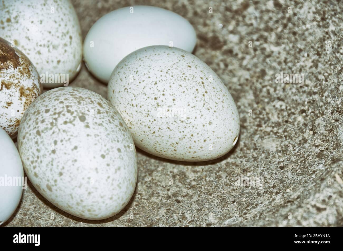 Weiße, gesprenkelte und ausgeblasene Vogeleier werden als Ostereier in eine Steinschale gelegt. Stockfoto