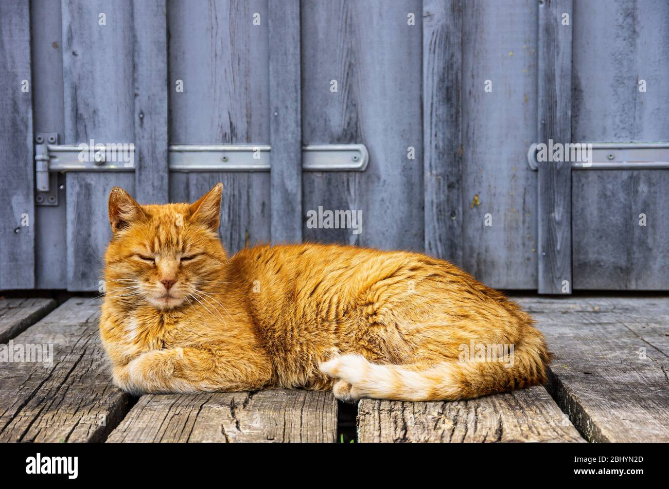 Rothaarige Hauskatze dösen vor dem Tor eines ländlichen Gebäudes. Stockfoto