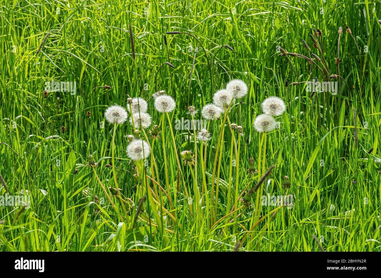 Eine Gruppe von Blowballs im hohen Gras einer Wiese. Stockfoto