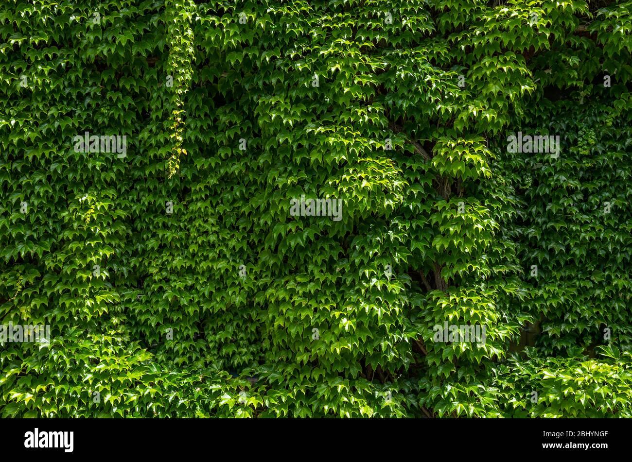 Ivy erstreckt sich auf einer Hauswand. Stockfoto