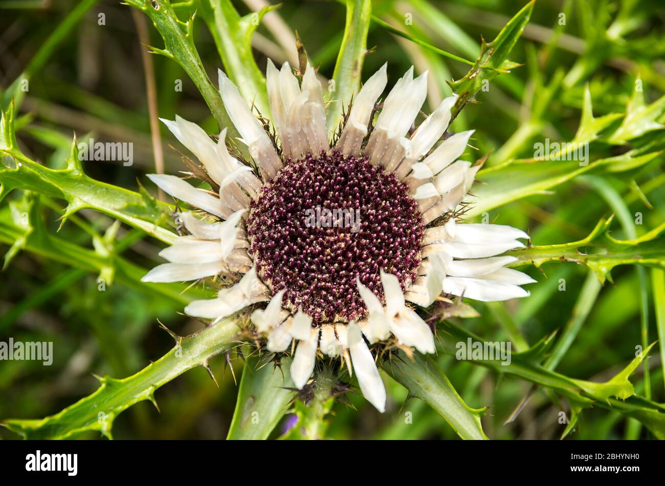 Blühendes Exemplar einer Distelpflanze, hier eine silberne Distel, Carlina acaulis. Stockfoto