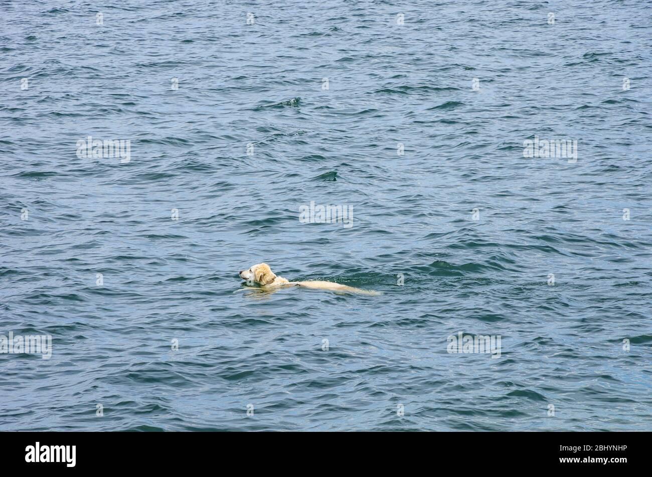 Ein Hund schwimmend über den See. Stockfoto