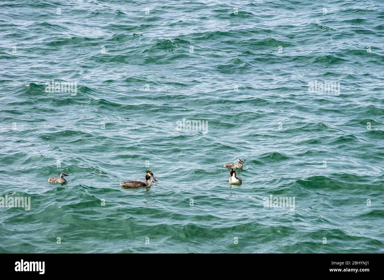 Eine Familie, die auf einem See schwimmt. Haubentaucherfamilie schwimmt auf einem See. Stockfoto