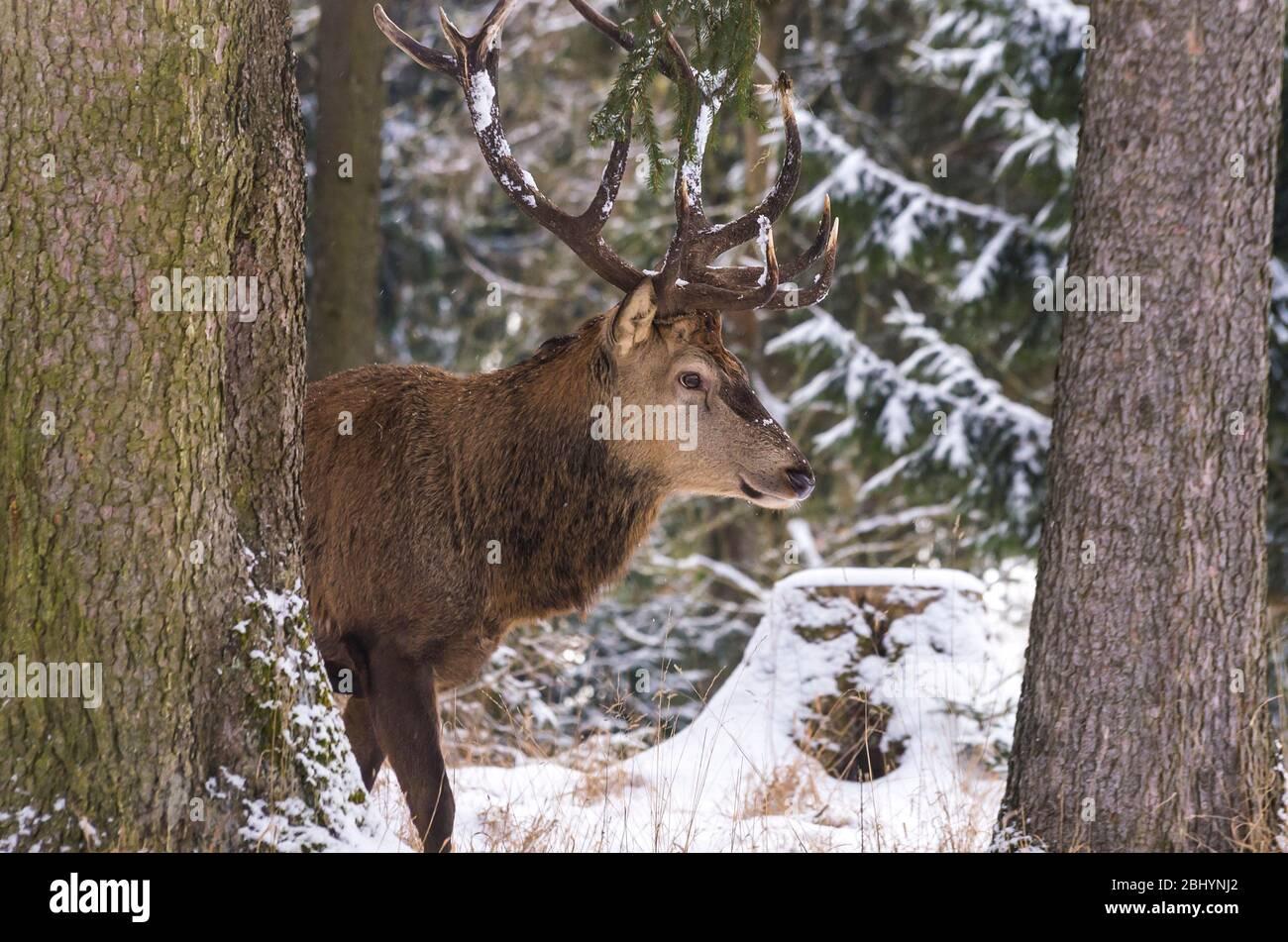 Männliche Rothirsch (Cervus Elaphus) in einem verschneiten winterlichen Wald. Stockfoto