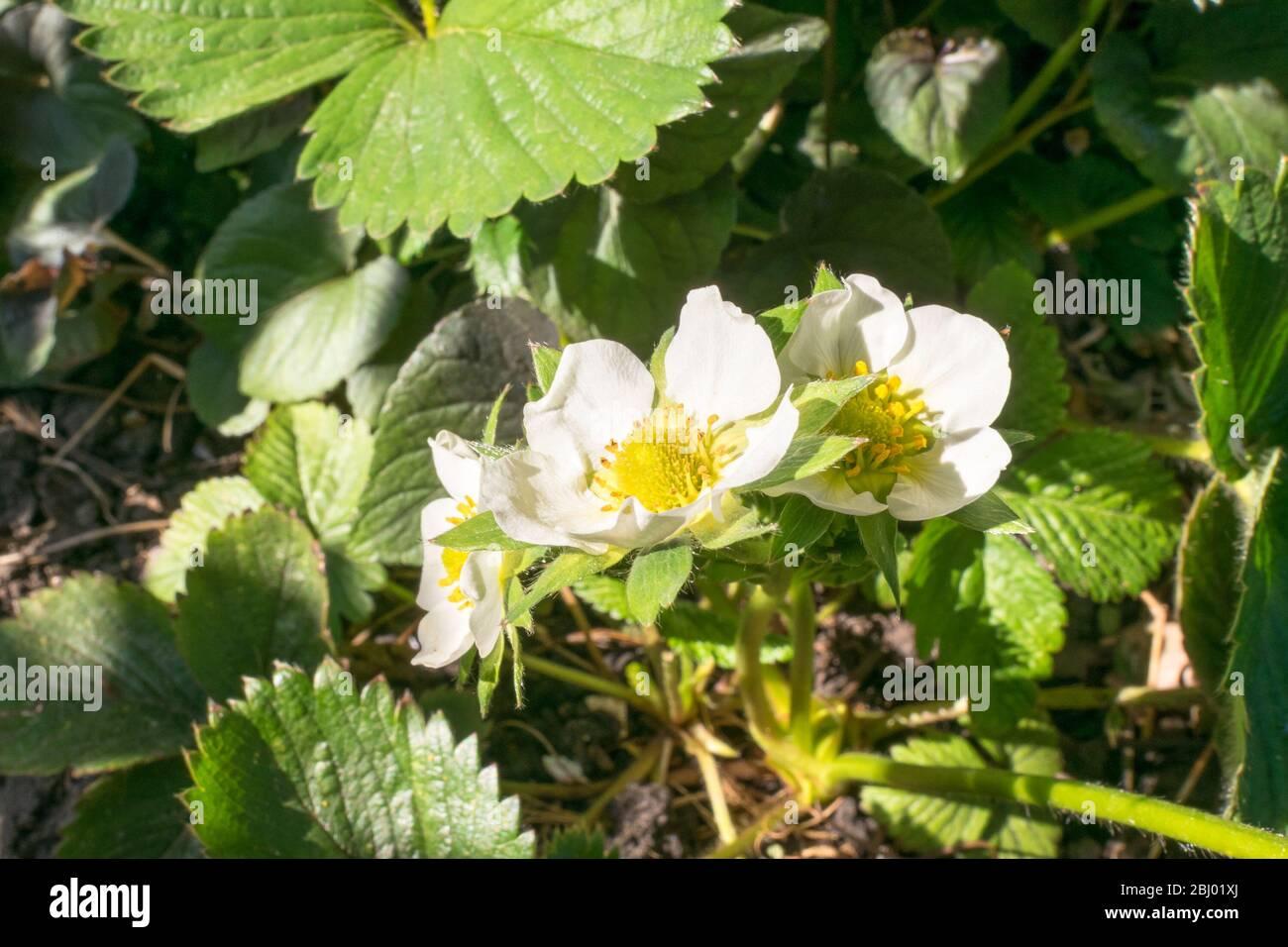 Detailbild der Blüten einer Erdbeerpflanze (Fragaria × ananassa) Stockfoto